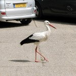 Stork The Beggar on the parking in Het Zwin, West Flanders, Belgium