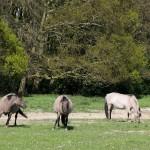 """""""Konik Paard"""" in Het Zwin, West Flanders, Belgium"""